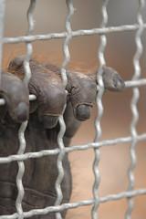 Jail (rdodson76) Tags: abstract nature animal fur mammal zoo trapped solitude escape hand sad wildlife prison help orangutan fingernails concept held conceptual captive desperation caught primate knuckles depressing jailed imprison