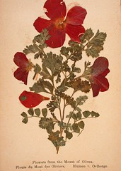 Jerusalem flowers 1 (Boobook48) Tags: jerusalem mountofolives pressedflowers