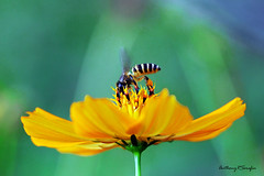 Bee2 (anthonyserafin) Tags: flower macro yellow petal bee pollen theunforgettablepictures