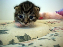 Saber (OpticalGlee) Tags: pet baby cute animal cat one kitten feline day xmen