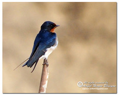 Barn Swallow - [Metho Ababil {Bangla}, Hirundo rustica {Latin}] (- Ariful H Bhuiyan -) Tags: bird barn south swallow barnswallow rustica hirundo pakhi metho ababil