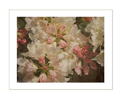 Phoebe's Flowers (JayneLM, Flickr fickle) Tags: rhododendron goldentorch phoebesflowers