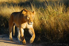 Lioness (Arno Meintjes Wildlife) Tags: africa park sunset camp wallpaper nature animal southafrica mammal bush leo wildlife lion safari bigcat predator rsa krugernationalpark kruger predators big5 pantheraleo parkstock genuspanthera arnomeintjes