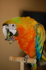 Comet and his green grape (Dave Womach) Tags: blue orange green bird yellow foot orlando holding with florida eating parrot eat grapes perch fl camelot eats hybrid macaw comet grape