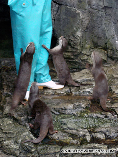 The otters pestering their keeper for food