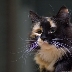 Tindra (peter_hasselbom) Tags: portrait cats face cat whiskers calico catshow 105mm cc100 cc1000 bestofcats