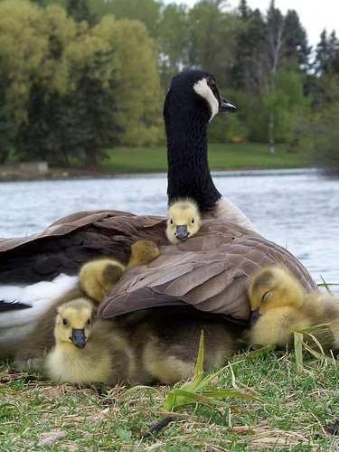 Mother Goose and her babes.
