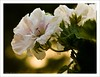 Pelargonium bokeh (Andrea Rapisarda) Tags: naturaleza white nature closeup bokeh natura fa geranio straightfrommycamera olympuse510 pelagornium rapis60 andrearapisarda verylimitedprocessing