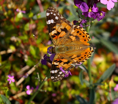 Painted Lady (JeanM1) Tags: butterfly paintedlady