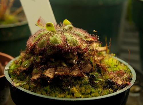 Drosera Admirabilis: Rootlets