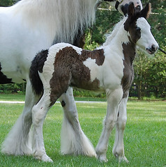 Gypsy Vanner Horse (The Pelton Vanners Gypsy Vanner Horses) Tags: horse cob gypsy stallion foal vanner gypsyvanner gypsyhorse gypsycob featheredhorse