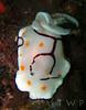 Handpainted (WanderWorks) Tags: life sea color colour nature marine underwater scuba diving slug nudibranch pulchella chromodoris risbecia annulata chromodorisannulata dscn9955rvc3g2