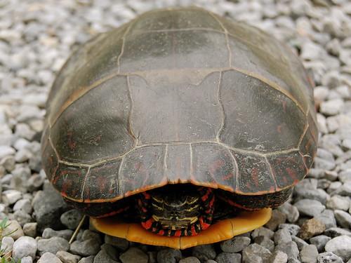 Unfriendly turtle