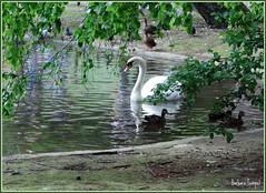 Cygne (Barbara DALMAZZO-TEMPEL) Tags: parc oiseau cygne