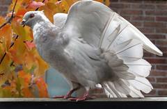 pigeon #11 (eyecatcher) Tags: bird pigeon dove
