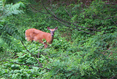 Deer 04 (Josh152) Tags: trees nature animal forest woods wildlife deer whitetail whitetaildeer a590is