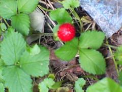 Wild Strawberry (jvc_scout_mom) Tags: wildstrawberries floraandfauna undermydeck