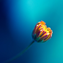 a thin line ([Adam Baker]) Tags: pink blue light summer orange flower macro canon square dof grow minimal 5d reach bud portfolio simple hmb falloff adambaker 100mm28macro