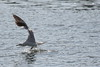 gull landing (1600 Squirrels) Tags: california usa bird fauna oakland photo lenstagged wildlife seagull lakemerritt 1600squirrels eastbay sfbayarea nocal alamedacounty bif xsi 3x2 canon70300f456 450d