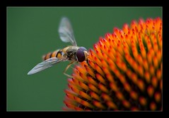 Hoverfly landing (der LichtKlicker) Tags: macro canon insect lens echinacea balcony sigma makro hoverfly nahlinse 80400mm 500d diopter schwebfliege sonnenhte