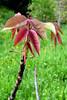 diólevél / walnut leaves (debreczeniemoke) Tags: plant field leaf spring meadow tavasz nuc medicinalplant növény mező levél juglansregia rét noyercommun gyógynövény commonwalnut canonpowershotsx20is echtewalnuss közönségesdió