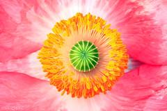 Poppy's eye ball (Dalang55555) Tags: pink orange white flower color macro green yellow closeup heart poppy