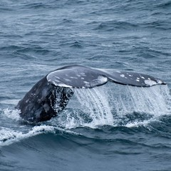 So long..... (Images by John 'K') Tags: moving whale halfmoonbay fluke whalewatching ebrpd johnk graywhale photographyrocks ebparks d40x nikonflickraward internationalflickrawards ebparksok johnkrzesinski randomok