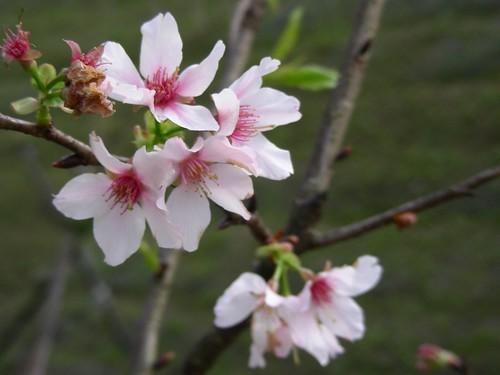 金龍湖-櫻花