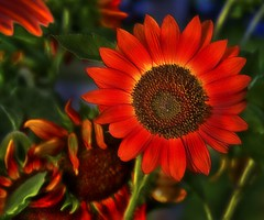 Red Sunflower (Uncle Phooey) Tags: red flower green garden petals missouri sunflower ozarks hdr florets helianthusannuus fineartphotos mywinners unclephooey