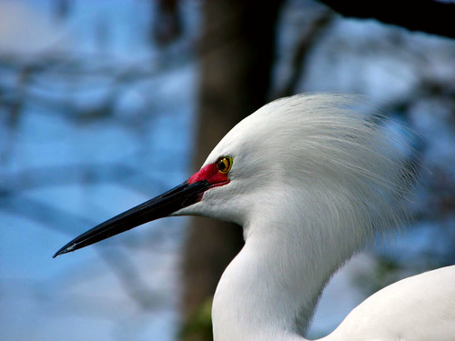 breeding snowy egret
