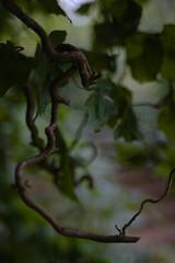 autumn wiggle (Skink74) Tags: uk england 20d leaves garden geotagged dof bokeh steps hampshire hazel corkscrew hursley wiggle eos20d nikkor35f14 geo:lat=510257 geo:lon=1400397 nikkor35mm114ai