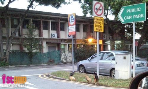 Chickens running free in Changi: Will they spread bird flu?