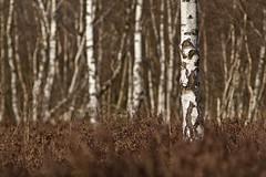 Birch II (derScheuch) Tags: nature beauty landscape deutschland dof minolta natur 7d dynax moor landschaft deu oldenburg niedersachsen edewecht wildenloh hausbkenniederung derscheuch