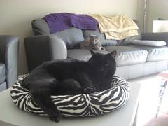 Freya has control over her bed (jon_a_ross) Tags: cats cat blackcat loki freya dsh graycat greycat domesticshorthair