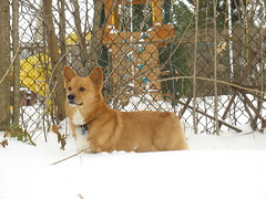 Sampson in the snow (nikoretro) Tags: red dog pet pets white cute dogs pembroke corgi redwhite pembrokewelshcorgi sable canine welsh cutedog samson welshcorgi herd sampson herding