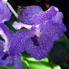 Blue Orchid (StGrundy) Tags: blue atlanta plants usa white orchid flower color detail macro green floral colors closeup garden georgia botanical petals nikon colorful asia purple unitedstates blossom bokeh south violet lavender naturallight noflash midtown explore southern orchidaceae squareformat stamen tropical bloom vanda unusual dappled rare atlantabotanicalgarden himalayan humid blooming anther endangeredspecies fuquaorchidcenter blueorchid vandacoerulea supershot 42mm explored d80 f53 fantasticflower mywinners nikond80 theunforgettablepictures theunforgettablepicture vosplusbellesphotos nikkor1855mmf3556gvr exposure0017sec