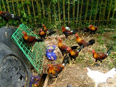 Fiery Lemon stags (charcoalface_1) Tags: city game chicken gold sweater butcher rooster cocks hatch bacolod fighting gwapo manok negros sabong roundhead blueface sampok sebio fowls alangilan charcoalface1 uytiepo