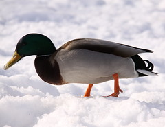 Stokkand/Mallard duck (BeateL) Tags: oslo norway duck and akerselva mallardduck stokkand