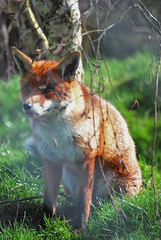Fox Sitting (catherineflowermonkey) Tags: foxes urbanfox predetor urbanfoxes predetors britishwildlifeanimalanimalsmammalsbirdsnaturenaturalworldlingfieldeastgrinsteadsoutheastenglandenvironment britishwildlifecentrethebritishwildlifecentrefox