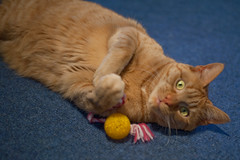 Zeus and his toy. (Lady Selena) Tags: red playing goofy cat toy ginger kat belly zeus tummy rood faved catsnamedzeus friendsofzeusphoebe