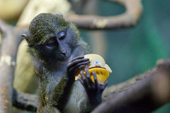 He has a distant relative in Denmark (jonmartin ()) Tags: animal zoo monkey shakespeare thinking lincolnparkzoo hamlet pondering canonef70200mmf28lisusm