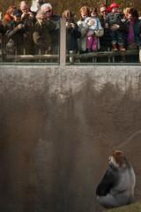 2009-03-21-13h59m22.IMG_6617l (A.J. Haverkamp) Tags: zoo rotterdam blijdorp gorilla dierentuin diergaardeblijdorp westelijkelaaglandgorilla canonef14xiiextender bokito httpwwwdiergaardeblijdorpnl canonef300mmf4lisusmlens dob14031996 pobberlingermany