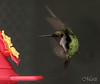 Midair maneuver (FLPhotonut) Tags: bird nature spring hummingbird florida air flight feeder aviary midair canonrebelxt maneuver lakelandfl natureoutpost vftw theenchantedcarousel flphotonut