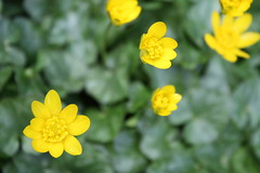 Lesser Celandine, or Little Yellow Things (Donna Nicholson Arnott) Tags: plant green yellow scotland spring glasgow celandine pilewort ranunculusficaria lessercelandine scharbockskraut littleyellowthings scurvywort