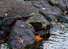 Plenty of (Star)fish in the Sea (Peggy Collins) Tags: ocean sea canada seaweed landscape bay pacific starfish harbour britishcolumbia sealife pacificocean pacificnorthwest lowtide tidal sunfish penderharbour sunshinecoast echinoderm seastar invertebrate waterscape naturesfinest peggycollins mottledstarfish