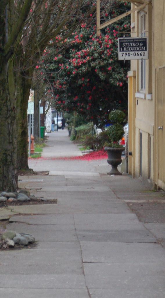 camellia_sidewalk_narrow