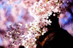 primavera (moaan) Tags: life pink blue light sunlight color sunshine digital 50mm dof shine blossom bokeh tint utata bloom  cherryblossom sakura hue 2009 cherrytree f095 inbloom explored canonf095 bloomimg rd1s inlife epsonrd1s canon50mmf095 gettyimagesjapanq1 gettyimagesjapanq2