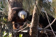 Pembroke Pines Eagles 15 (triggermike) Tags: eaglesnest eagles pembrokepines