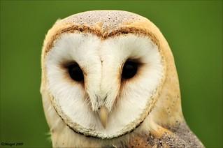 Kerkuil / Tyto alba / Barn Owl