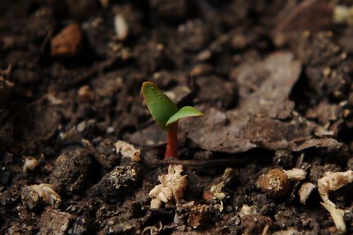 2009-04-14ルバーブ栽培:発芽